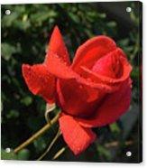 Rose 03 Acrylic Print