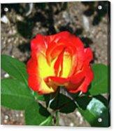 Rose 07 Acrylic Print