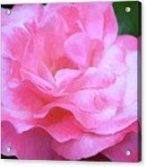 Rose 384 Acrylic Print