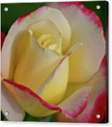 Rose 3913 Acrylic Print