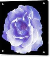 Rose 7 Acrylic Print
