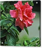 Rose 7898 Acrylic Print