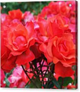 Rose Abundance Acrylic Print by Rona Black