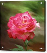Rose Alone Acrylic Print