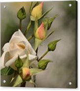 Rose And Buds Acrylic Print by Atul Daimari