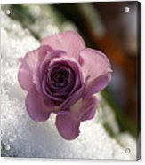 Rose And Snow Acrylic Print