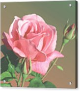 Rose And Two Buds Acrylic Print