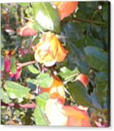 Rose Art Acrylic Print