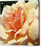 Rose Art Peach Orange Roses Sunlit Florals Giclee Baslee Troutman Acrylic Print