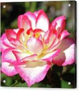 Rose Art Prints Pink White Roses Garden Baslee Troutman Acrylic Print
