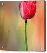 Red Tulip At Sunset By Kaye Menner Acrylic Print