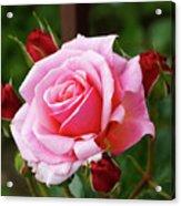Rose Attendants Acrylic Print