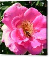 Rose Bee Acrylic Print