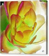 Rose Blush Acrylic Print by Lynne Furrer