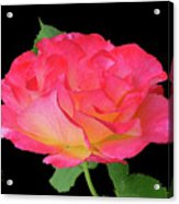 Rose Blushing Cutout Acrylic Print