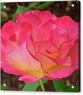 Rose Blushing Acrylic Print