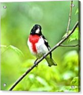 Rose-breasted Grosbeak 2 Acrylic Print