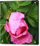 Rose Bud And Bee Acrylic Print