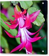 Rose-colored Christmas Cactus At Pilgrim Place In Claremont-california  Acrylic Print
