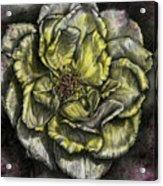 Rose Cream Acrylic Print