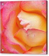 Rose Detail 2 Acrylic Print