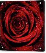 Rose Dew Acrylic Print