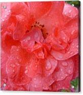 Rose Drops Acrylic Print