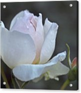 Rose Flower Series 14 Acrylic Print