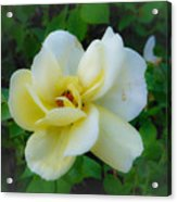 Rose From Home Acrylic Print