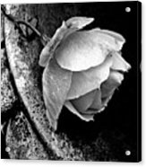 Rose In A Birdbath Acrylic Print