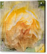 Rose In Bloom  Acrylic Print