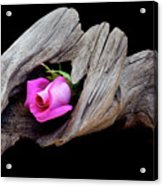 Rose In Driftwood 2 Acrylic Print