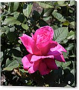 Rose In Flower Bed Acrylic Print