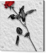 Rose In Snow Acrylic Print