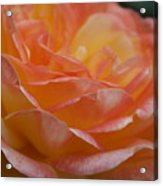 Rose In Yellow And Pink I Acrylic Print