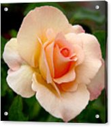 Rose Is A Rose Is A Rose Acrylic Print by Christine Till