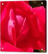 Rose Is As Rose Does Acrylic Print