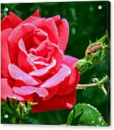 Rose Is Its Name Acrylic Print