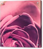 Rose Morning Light Acrylic Print