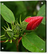Rose O Sharon Bud Acrylic Print