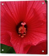 Rose O Sharon Closeup Acrylic Print