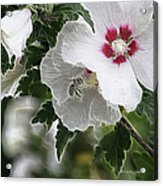 Rose Of Sharon And Bee Acrylic Print