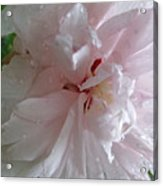 Rose Of Sharon In The Rain Acrylic Print