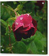 Rose On The Vine Acrylic Print