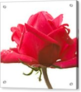 Rose On White Acrylic Print