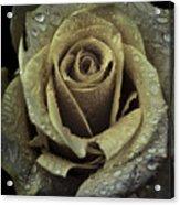 Rose Petals Acrylic Print