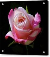 Rose Photo Acrylic Print