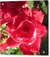 Rose Pink With Guest Acrylic Print