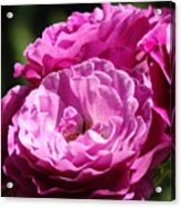 Rose Pink Purple Roses Flowers 1 Rose Garden Sunlit Flowers Baslee Troutman Acrylic Print
