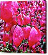 Rose Red 2 Acrylic Print